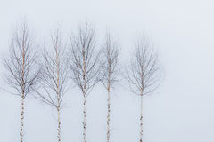 Aspen Trees In Winter Royalty Free Stock Images