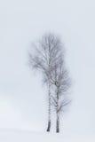 Aspen Trees In Winter Stock Photo