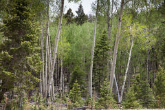 Aspen Royalty Free Stock Images