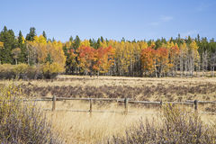 Aspen trees log rail fence country scenic Stock Photography