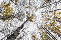 Aspen trees Royalty Free Stock Image