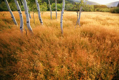 Aspen Trees in a Meadow. Aspen trees in a golden meadow -  panoramic scenic landscape Royalty Free Stock Image
