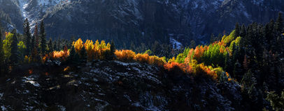 Aspen trees on mountain tops Stock Image