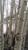 Aspen trees. Mountains Royalty Free Stock Photos