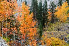 Aspen Trees na neve Imagem de Stock Royalty Free