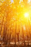 Aspen Trees nelle stagioni di caduta Fotografie Stock Libere da Diritti