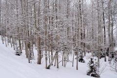 Aspen Trees nevado Foto de archivo libre de regalías