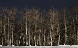 Aspen Trees at Night Stock Images