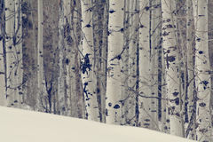 Aspen trees in the northern utah mountains in the winter Stock Image