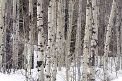 Aspen trees in the northern utah mountains in the winter Stock Photos