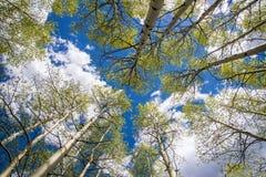 Aspen Trees och moln Arkivbild