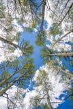 Aspen Trees och moln Fotografering för Bildbyråer
