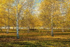 Aspen trees in orchard. Stock Image