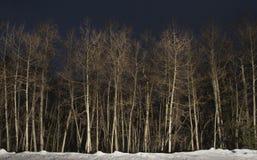 Aspen Trees på natten Arkivbilder