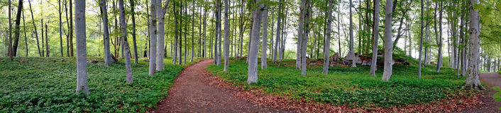 Aspen trees in park Royalty Free Stock Images