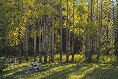 Aspen trees and picnic tables in fall Stock Photos