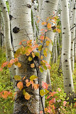 Aspen trees with red shrub. Aspen trees in a clone in autumn with red-leaved shrub Royalty Free Stock Photos
