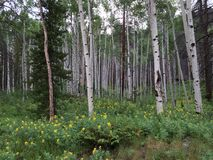 Aspen trees rise above field of yellow wild flowers 2. Royalty Free Stock Photo