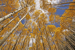 Aspen trees, Rocky mountains, Colorado. Autumn colored aspen trees, rocky mountains, Colorado royalty free stock photos