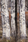 Aspen trees. In the rocky mountains of wyoming in the fall royalty free stock image