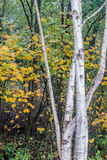 Aspen Trees At Seahurst Park 2. White Aspen trees grow in front of fall foliage at Seahurst Park in Burien, Washington stock photo