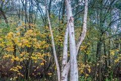 Aspen Trees At Seahurst Park 3. White Aspen trees grow in front of fall foliage at Seahurst Park in Burien, Washington royalty free stock image