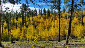 Aspen trees showing their fall colors in Colorado royalty free stock photos