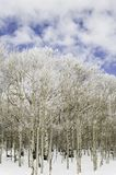 Aspen trees in snow. Royalty Free Stock Photo