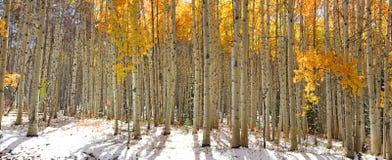 Aspen trees in snow Royalty Free Stock Photo