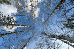 Aspen trees in spring Royalty Free Stock Photography