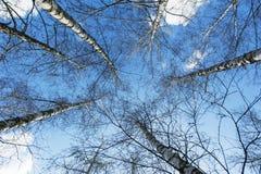Aspen trees in spring Stock Photo