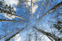 Aspen trees in spring Royalty Free Stock Image
