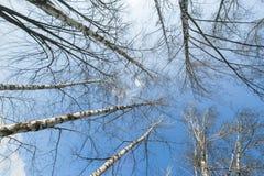 Aspen trees in spring Royalty Free Stock Photos