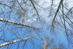 Aspen trees in spring Royalty Free Stock Images