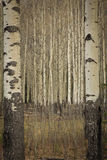 Aspen trees. A stand of aspen trees in spring Stock Photography
