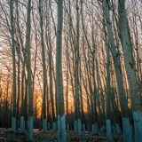 Aspen Trees at sunset 2 Stock Photography