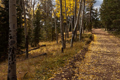 Aspen trees and trail Royalty Free Stock Photos