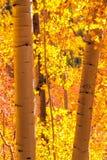 Aspen Trees Royalty Free Stock Photos