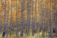 Aspen trees in the Utah mountains Stock Images