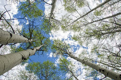 Aspen trees. A vertical closeup view of aspen trees in a Colorado national park stock images
