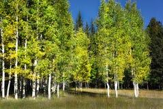 Aspen Trees White Bark Fall Color royalty free stock photos