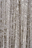 Aspen trees in winter Royalty Free Stock Photos
