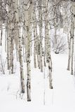 Aspen trees in winter. Stock Images