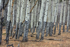 Aspen trees in winter Royalty Free Stock Photo