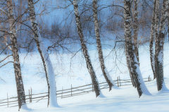 Aspen trees in winter and old fence Royalty Free Stock Photo