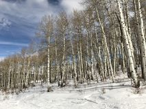 Aspen Trees in a Wintery Forrest royalty free stock photos