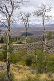 Aspen trees on Wyoming landscape stock photo