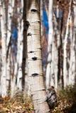 Aspen Trunk en automne image stock
