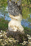 Aspen trunk gnawed by beavers royalty free stock photo