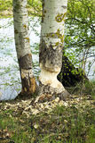 Aspen trunk gnawed by beavers Stock Images